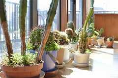 サボテンがすくすくと育っています。(2013-03-15,共用部,OTHER,5F)