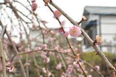 梅の花も咲いています。(2017-03-02,共用部,OTHER,1F)