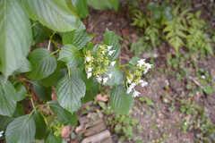 色んな種類の植物が植えられています。こちらはあじさい。(2015-05-29,共用部,OTHER,1F)