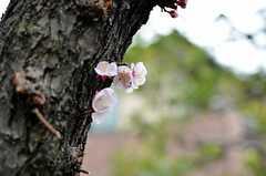 桜も花をつけています。(2014-03-14,共用部,OTHER,1F)