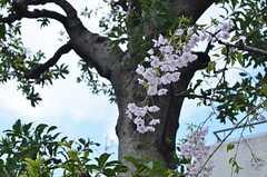 玄関前には桜が花をつけていました。(2014-04-04,共用部,OTHER,1F)