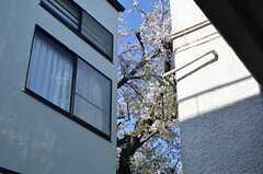 デッキテラスからはお隣さんの桜がチラリ。(2014-04-04,共用部,OTHER,1F)
