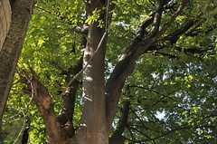 ウッドデッキのテラスの脇にある大きな木。(2012-10-05,共用部,OTHER,1F)