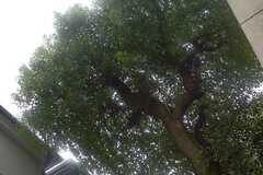 庭の隣に生える、大きな木を見上げるとこんな感じ。(2014-11-29,共用部,OTHER,1F)