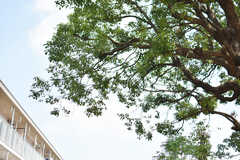 シェア畑のそばに植えられている立派な樹木。(2019-07-30,共用部,OTHER,1F)