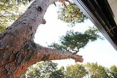 ベランダから見上げた松。とても立派です。(202号室)(2011-10-27,専有部,ROOM,2F)