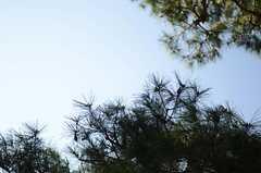 庭の松が青空に映えます。(2011-10-27,共用部,OTHER,1F)