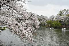 井の頭公園の様子2。桜が見頃を迎えていました。(2021-03-30,共用部,ENVIRONMENT,1F)
