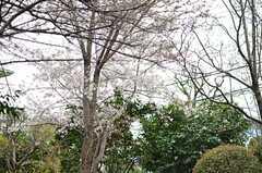 隣地には桜が咲いています。(2013-03-29,共用部,OTHER,1F)