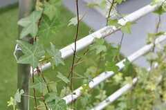 アイビーの葉っぱも種類がいろいろ。(2012-04-16,共用部,OTHER,4F)