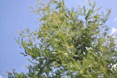 1年で随分と大きくなった、ミモザの木。(2013-09-02,共用部,OTHER,1F)