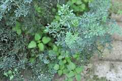 葉っぱの形がかわいい。ルーという植物です。(2013-09-10,共用部,OTHER,1F)