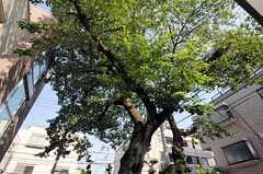 となりのオーナーさん宅にある大きな大きな桜の木。かなりの樹齢だと思います。(2013-06-04,共用部,OTHER,1F)