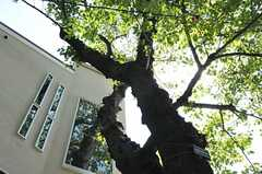 力強く育つ桜。(2012-09-12,共用部,OTHER,1F)