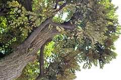 クワの木と椎の木が重なるように育っています。(2013-09-09,共用部,OTHER,1F)