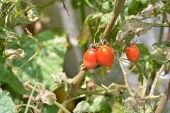 畑に植えられたトマト。野菜がたくさん植えられていて、熟したら収穫してOKだそう。(2018-08-06,共用部,OTHER,1F)