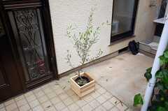 玄関前のオリーブの木。(2008-05-03,共用部,OTHER,1F)
