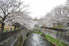 シェアハウス近くの祖師谷公園は桜の名所です。(2020-03-27,共用部,ENVIRONMENT,1F)