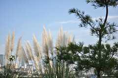 秋にはススキが穂を揺らします。(2013-10-30,共用部,OTHER,6F)