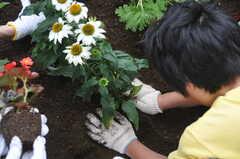 ガーデニングイベントの様子9。仮置きした花を埋めます。(2013-06-30,共用部,PARTY,1F)