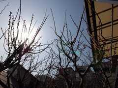 庭には今にも咲きそうな梅の蕾。(2008-03-03,共用部,OTHER,1F)