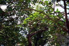 庭には柑橘系の実も成っています。(2008-07-22,共用部,OTHER,1F)