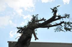 敷地内の大きな杉。(2010-09-14,共用部,OTHER,1F)