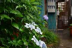 玄関へのアプローチには松の木や紫陽花が植えられています。(2013-06-12,共用部,OUTLOOK,1F)