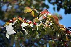 庭に育つ大きな木は、色づき始めています。(2011-09-29,共用部,OTHER,1F)