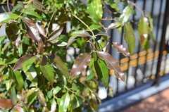 こちらレモンマートルの木。葉を折るととてもイイ香りがします。(2013-03-21,共用部,OTHER,5F)